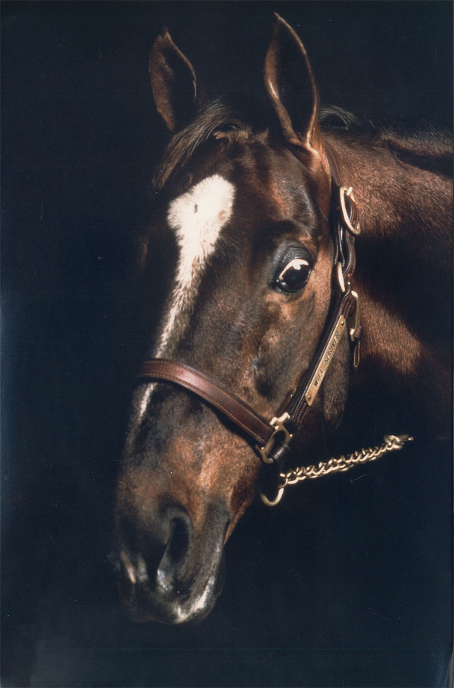 When choosing a stallion, remember that there is an ineffable quality to great horses, as demonstrated by this picture of the great sire CH Will Shriver.