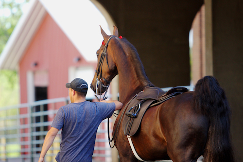 When entering the show ring, tack should be clean and in good condition. Photo by Lauren Gall.