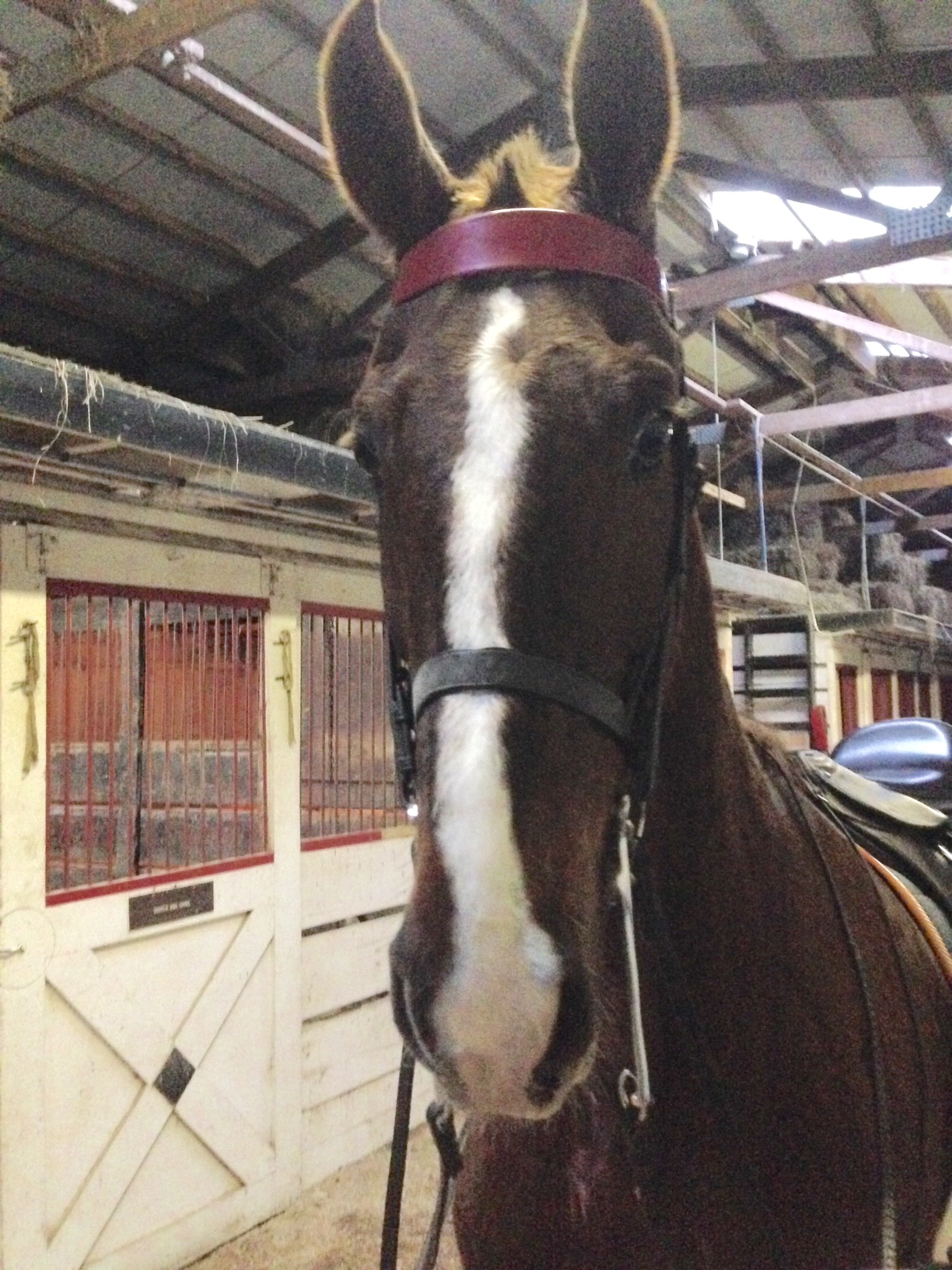 Slider was surprisingly happy in his double bridle.